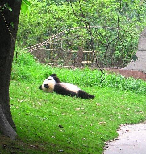 寝転んでるパンダが着ぐるみに見えてしかたない。。 #パンダ #上野 #上野動物園